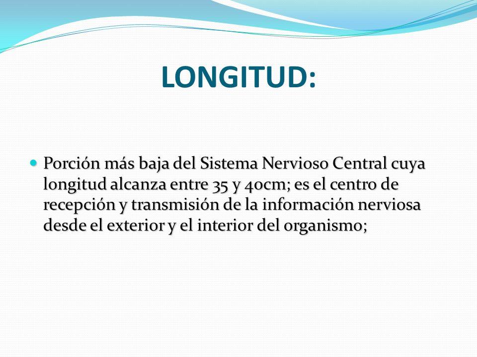 LONGITUD: Porción más baja del Sistema Nervioso Central cuya longitud alcanza entre 35 y 40cm; es el centro de recepción y transmisión de la informaci
