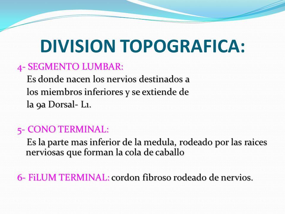DIVISION TOPOGRAFICA: 4- SEGMENTO LUMBAR: Es donde nacen los nervios destinados a Es donde nacen los nervios destinados a los miembros inferiores y se