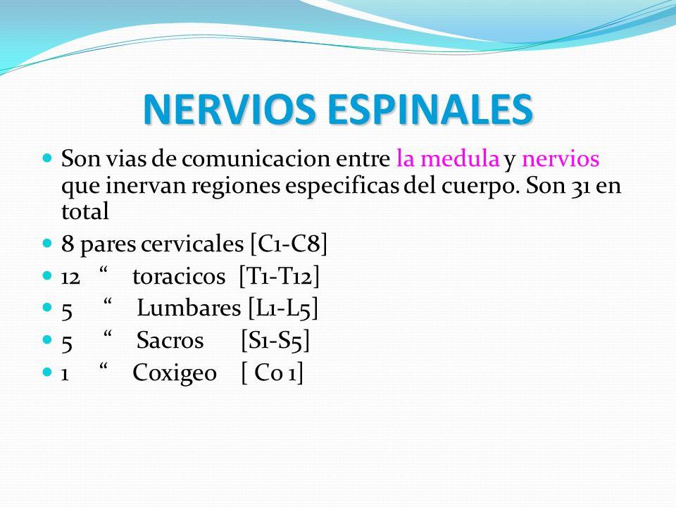 NERVIOS ESPINALES Son vias de comunicacion entre la medula y nervios que inervan regiones especificas del cuerpo. Son 31 en total 8 pares cervicales [