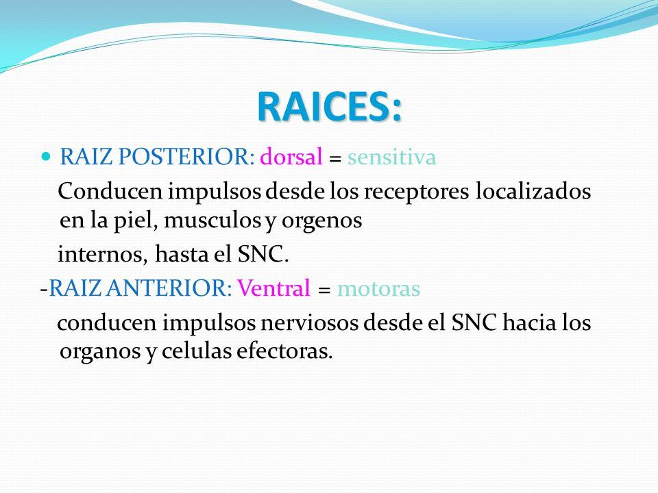 RAICES: RAIZ POSTERIOR: dorsal = sensitiva Conducen impulsos desde los receptores localizados en la piel, musculos y orgenos internos, hasta el SNC. -