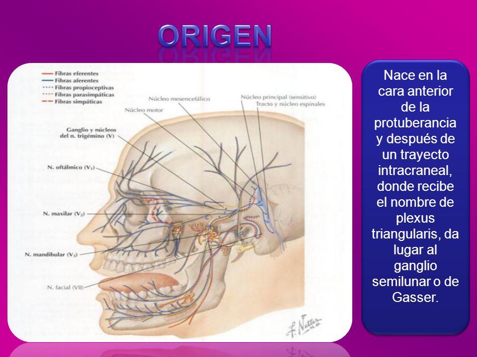 Nace en la cara anterior de la protuberancia y después de un trayecto intracraneal, donde recibe el nombre de plexus triangularis, da lugar al ganglio