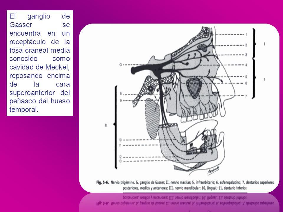 El ganglio de Gasser se encuentra en un receptáculo de la fosa craneal media conocido como cavidad de Meckel, reposando encima de la cara superoanteri