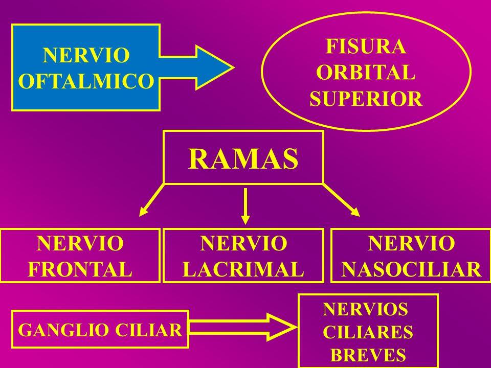 NERVIO OFTALMICO FISURA ORBITAL SUPERIOR RAMAS NERVIO FRONTAL NERVIO LACRIMAL NERVIO NASOCILIAR GANGLIO CILIAR NERVIOS CILIARES BREVES
