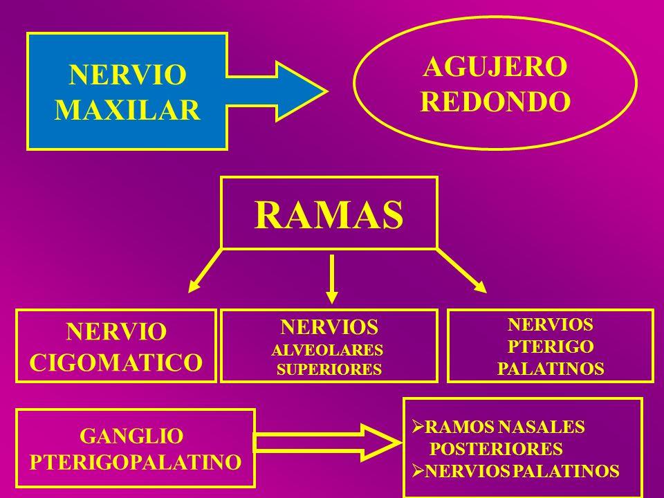 NERVIO MAXILAR AGUJERO REDONDO RAMAS NERVIO CIGOMATICO NERVIOS ALVEOLARES SUPERIORES NERVIOS PTERIGO PALATINOS GANGLIO PTERIGOPALATINO RAMOS NASALES P