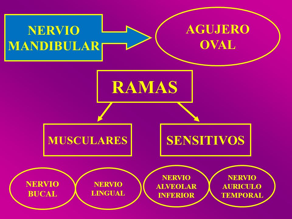 NERVIO MANDIBULAR AGUJERO OVAL RAMAS MUSCULARES SENSITIVOS NERVIO BUCAL NERVIO LINGUAL NERVIO ALVEOLAR INFERIOR NERVIO AURICULO TEMPORAL
