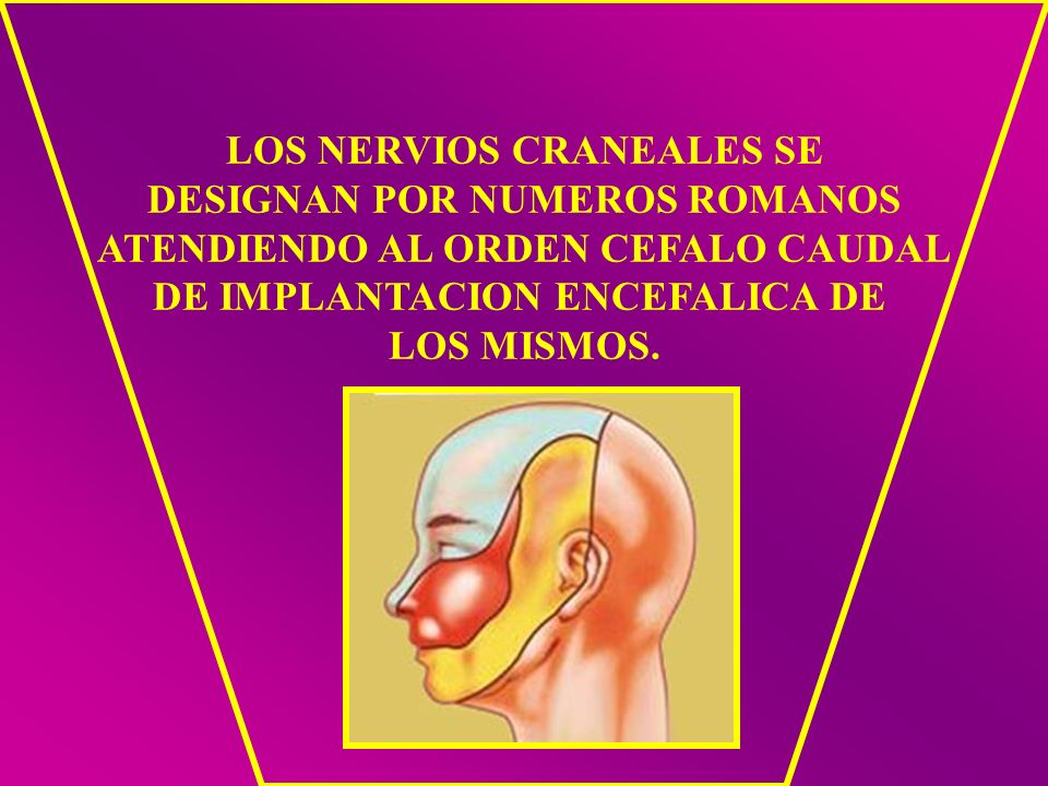 LOS NERVIOS CRANEALES SE DESIGNAN POR NUMEROS ROMANOS ATENDIENDO AL ORDEN CEFALO CAUDAL DE IMPLANTACION ENCEFALICA DE LOS MISMOS.