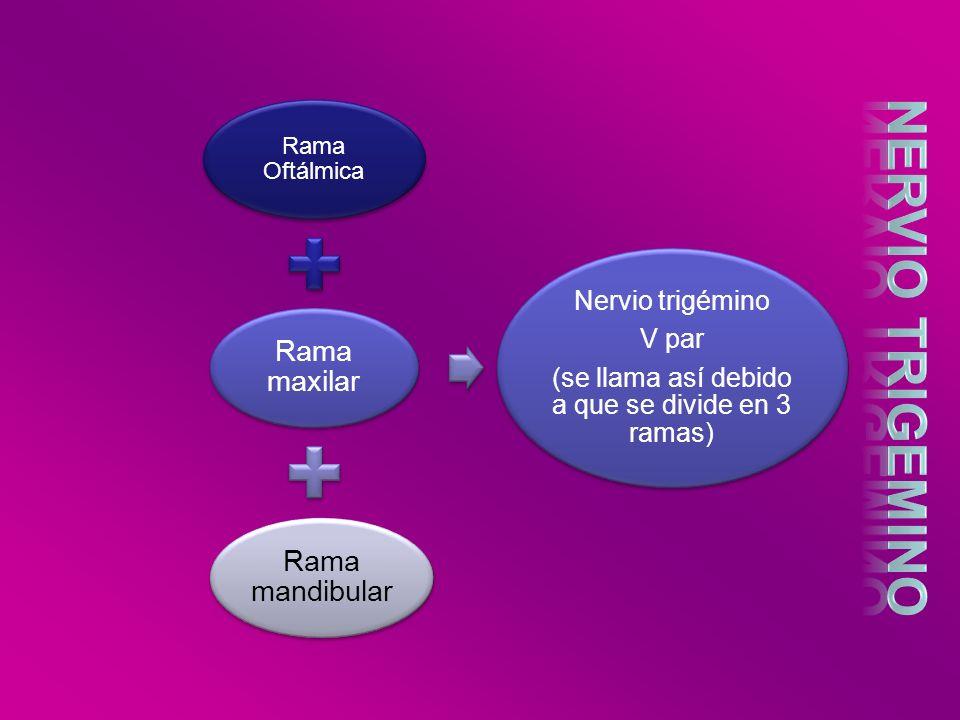Rama Oftálmica Rama maxilar Rama mandibular Nervio trigémino V par (se llama así debido a que se divide en 3 ramas)