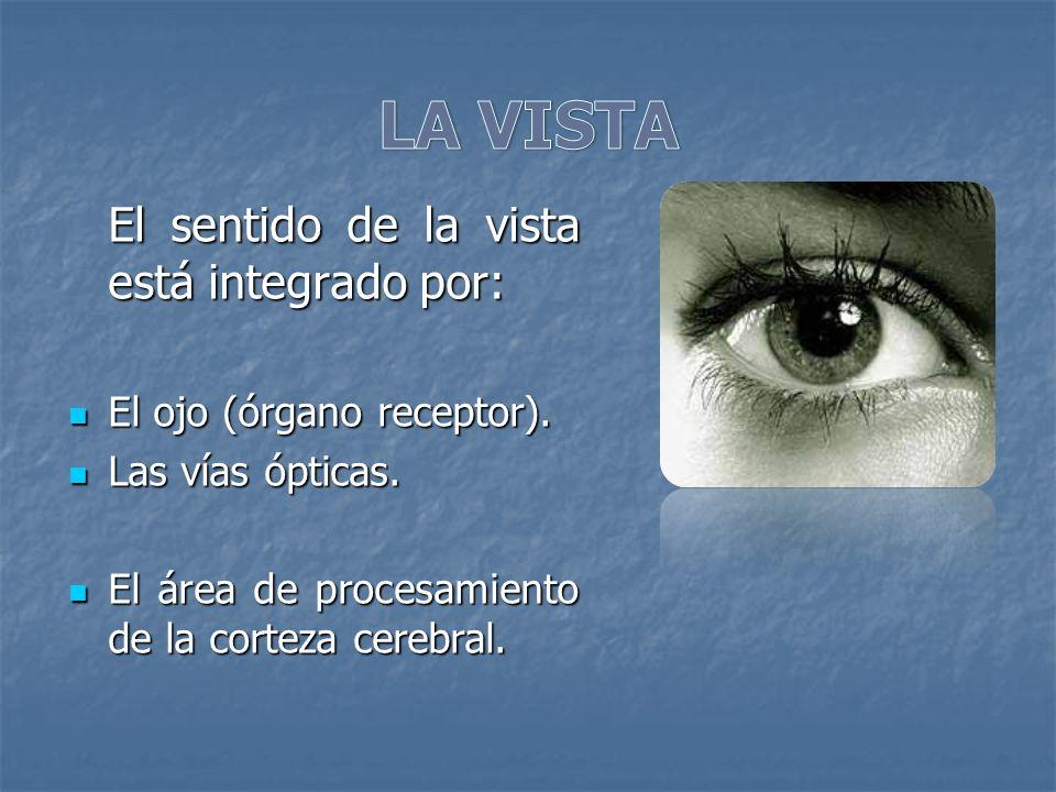 El sentido de la vista está integrado por: El ojo (órgano receptor). El ojo (órgano receptor). Las vías ópticas. Las vías ópticas. El área de procesam