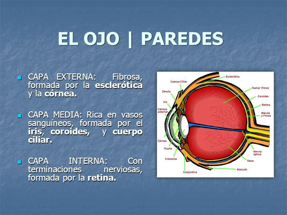 EL OJO   PAREDES CAPA EXTERNA: Fibrosa, formada por la esclerótica y la córnea. CAPA EXTERNA: Fibrosa, formada por la esclerótica y la córnea. CAPA ME