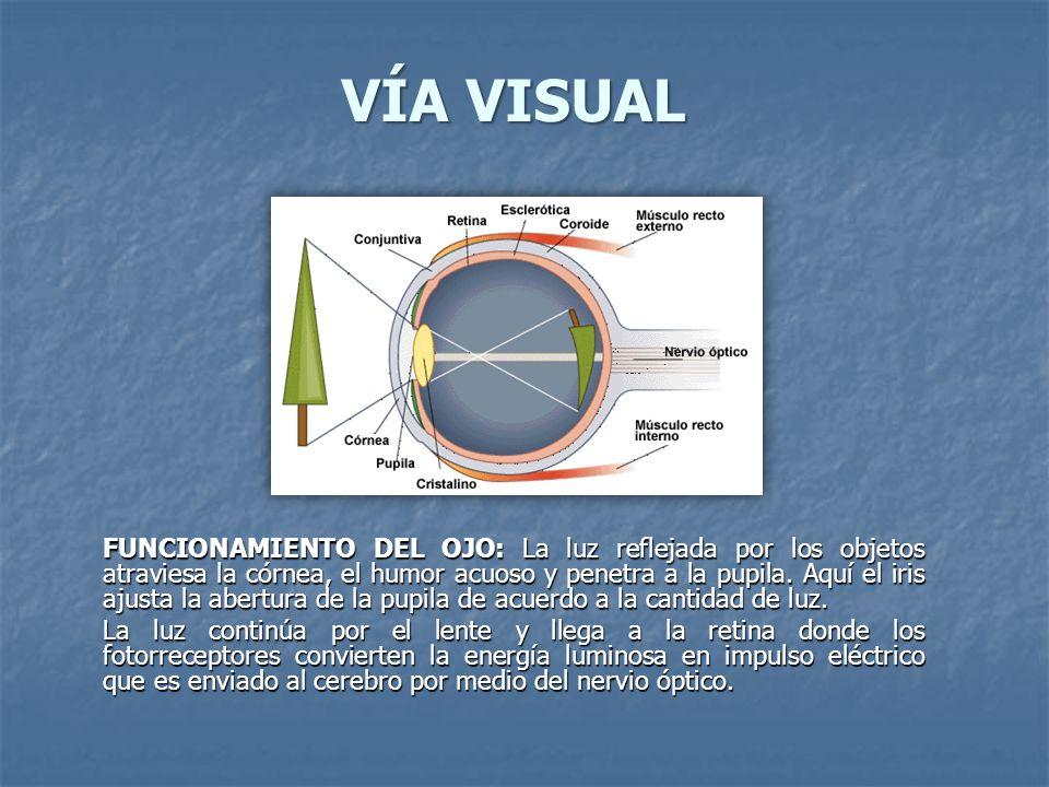 VÍA VISUAL FUNCIONAMIENTO DEL OJO: La luz reflejada por los objetos atraviesa la córnea, el humor acuoso y penetra a la pupila. Aquí el iris ajusta la