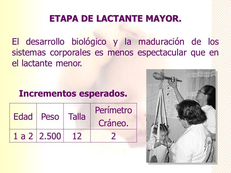 ETAPA DE LACTANTE MAYOR. El desarrollo biológico y la maduración de los sistemas corporales es menos espectacular que en el lactante menor. Incremento