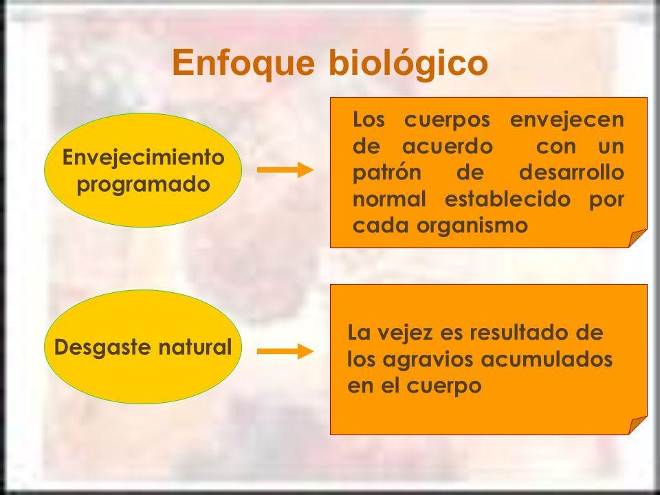 Enfoque biológico Envejecimiento programado Los cuerpos envejecen de acuerdo con un patrón de desarrollo normal establecido por cada organismo Desgast