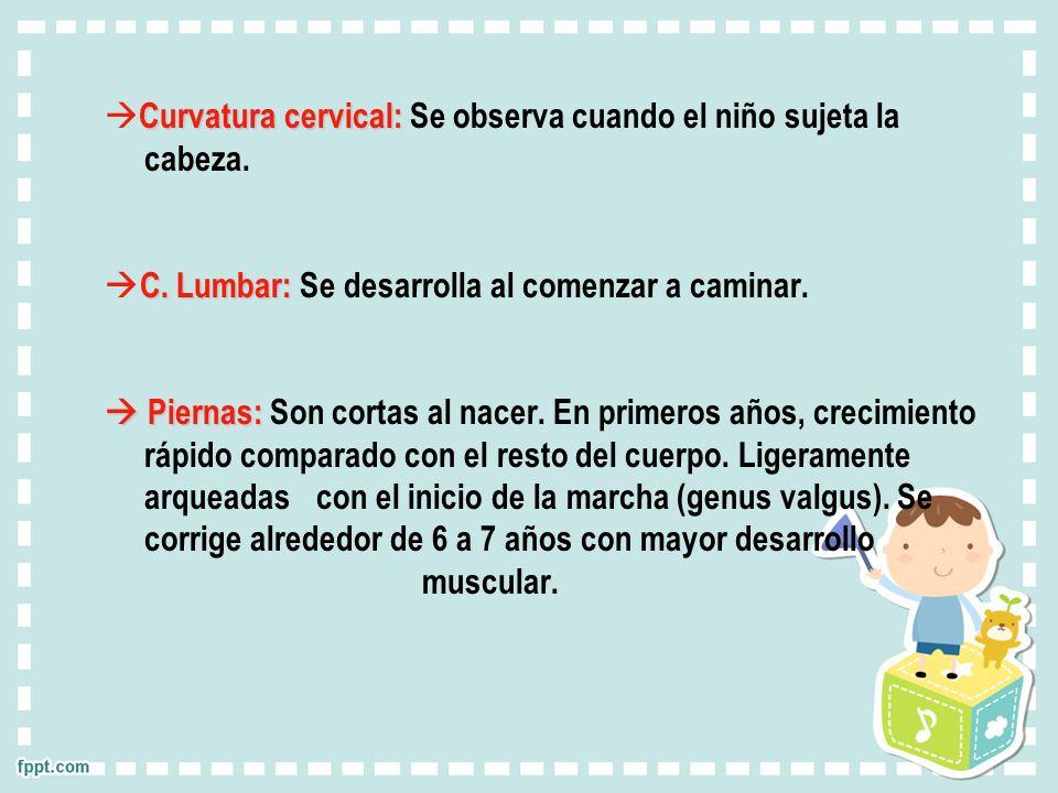 Curvatura cervical: Curvatura cervical: Se observa cuando el niño sujeta la cabeza. C. Lumbar: C. Lumbar: Se desarrolla al comenzar a caminar. Piernas