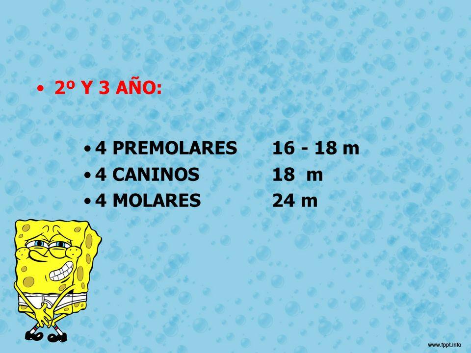 2º Y 3 AÑO: 4 PREMOLARES 16 - 18 m 4 CANINOS 18 m 4 MOLARES 24 m