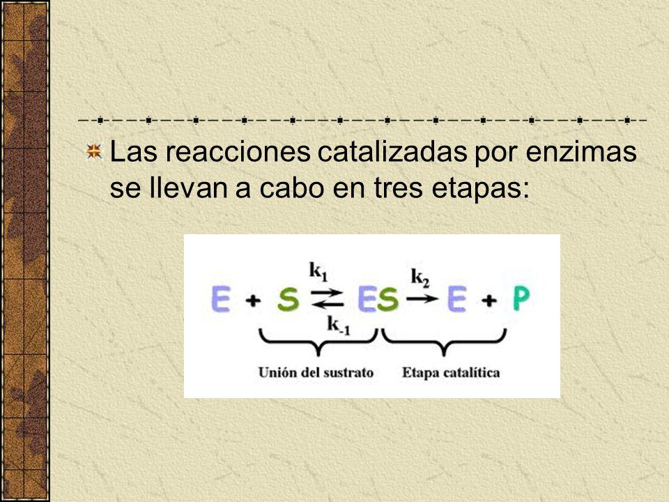Las reacciones catalizadas por enzimas se llevan a cabo en tres etapas: