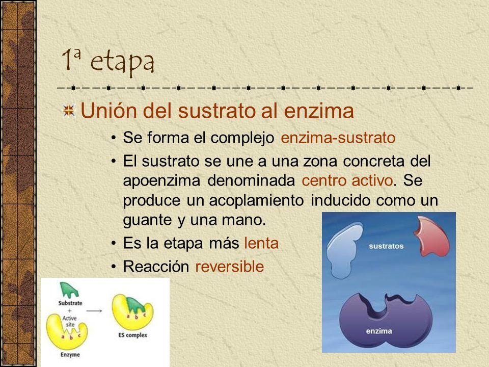 1ª etapa Unión del sustrato al enzima Se forma el complejo enzima-sustrato El sustrato se une a una zona concreta del apoenzima denominada centro acti