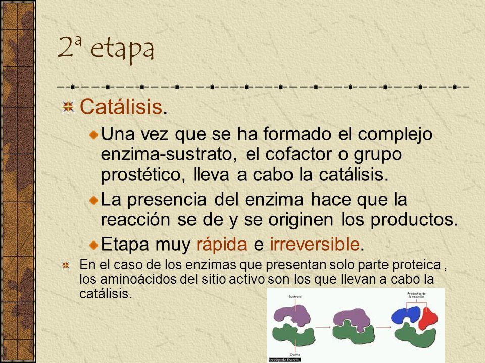 2ª etapa Catálisis. Una vez que se ha formado el complejo enzima-sustrato, el cofactor o grupo prostético, lleva a cabo la catálisis. La presencia del