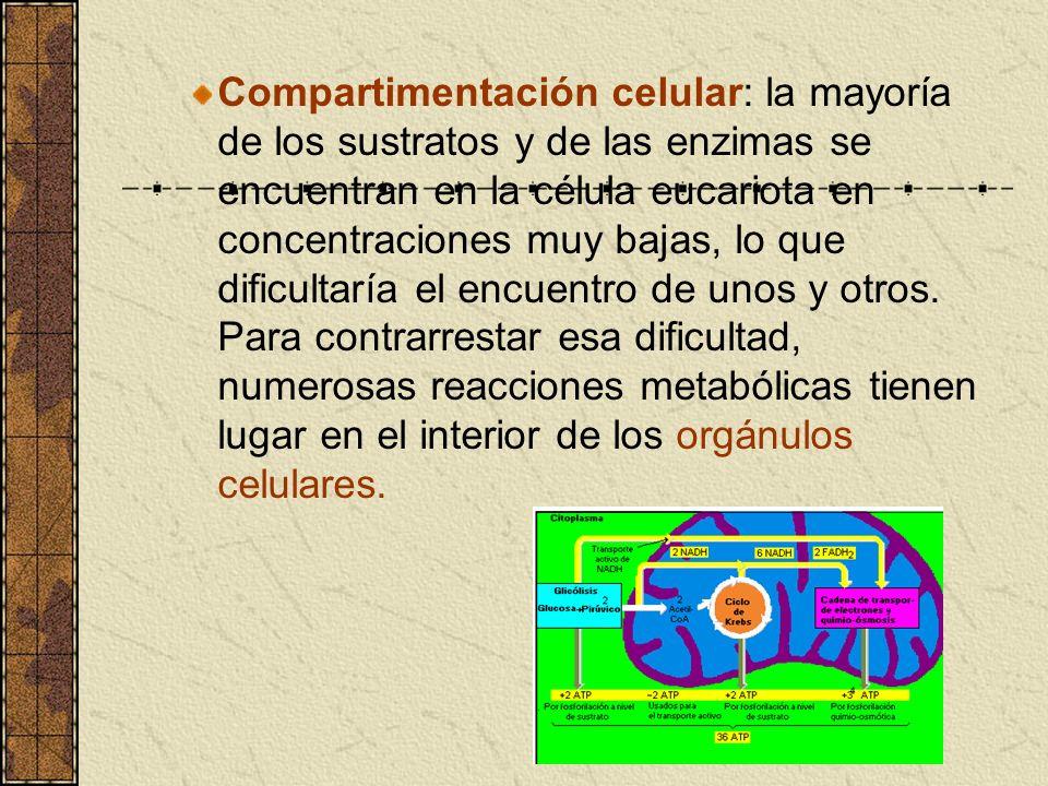 Compartimentación celular: la mayoría de los sustratos y de las enzimas se encuentran en la célula eucariota en concentraciones muy bajas, lo que difi