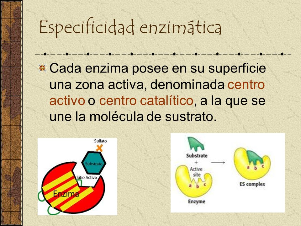 Especificidad enzimática Cada enzima posee en su superficie una zona activa, denominada centro activo o centro catalítico, a la que se une la molécula