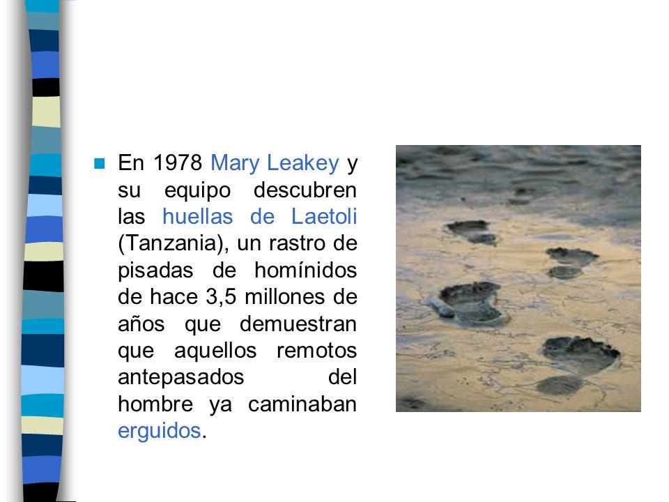 En 1978 Mary Leakey y su equipo descubren las huellas de Laetoli (Tanzania), un rastro de pisadas de homínidos de hace 3,5 millones de años que demues