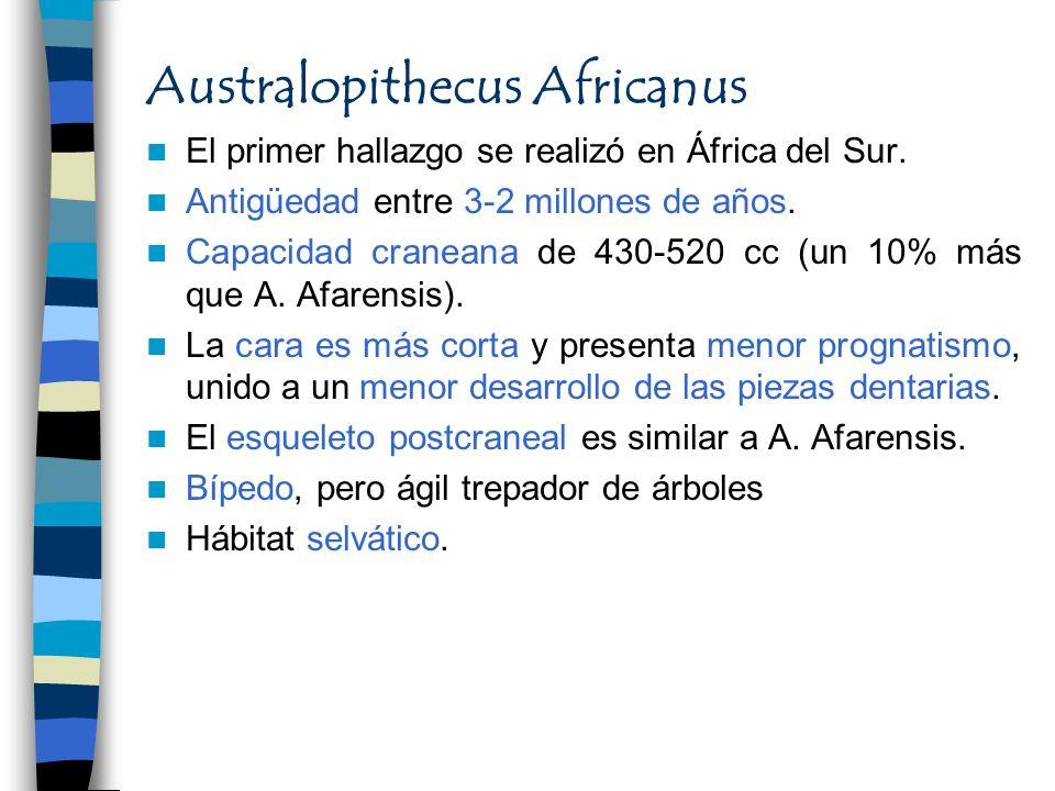 Australopithecus Africanus El primer hallazgo se realizó en África del Sur. Antigüedad entre 3-2 millones de años. Capacidad craneana de 430-520 cc (u