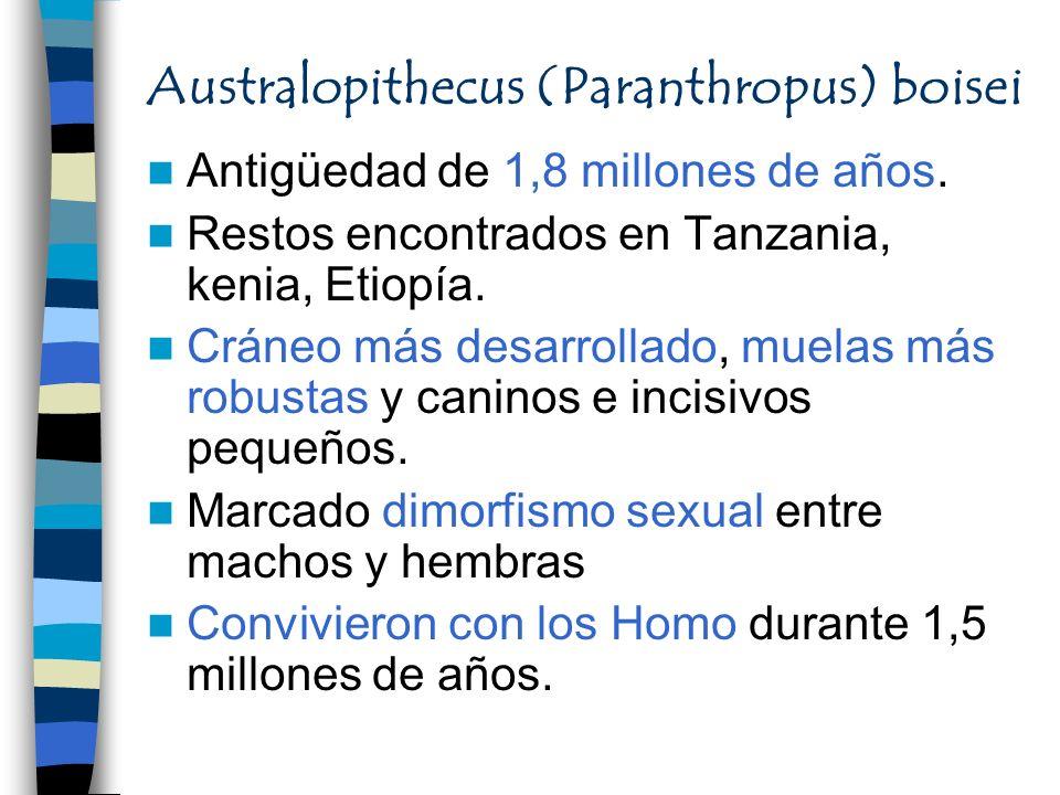 Australopithecus (Paranthropus) boisei Antigüedad de 1,8 millones de años. Restos encontrados en Tanzania, kenia, Etiopía. Cráneo más desarrollado, mu