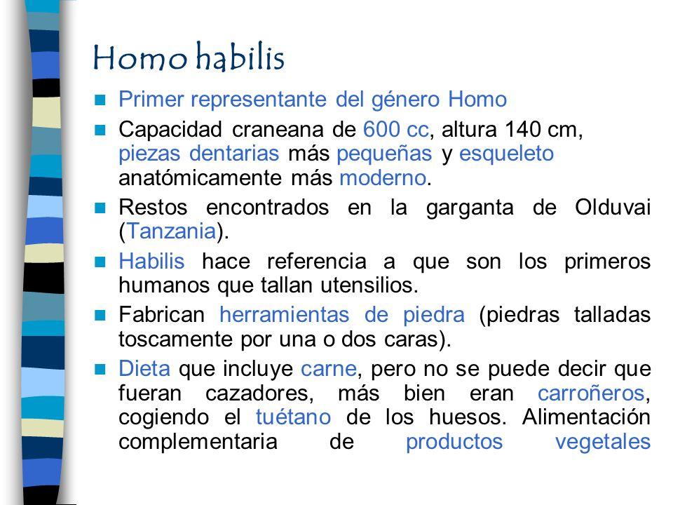 Homo habilis Primer representante del género Homo Capacidad craneana de 600 cc, altura 140 cm, piezas dentarias más pequeñas y esqueleto anatómicament