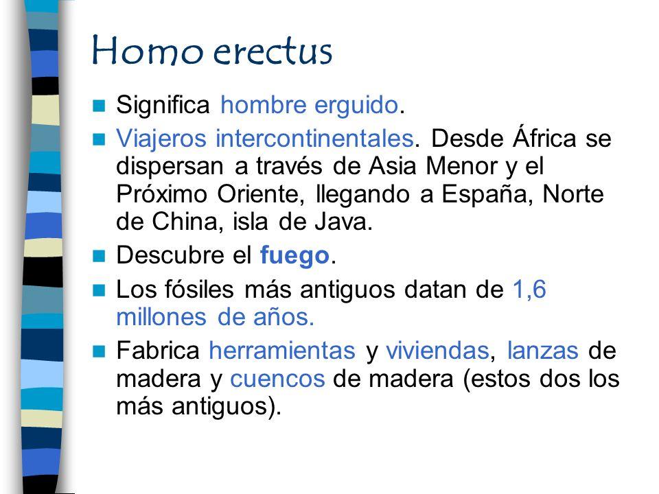 Homo erectus Significa hombre erguido. Viajeros intercontinentales. Desde África se dispersan a través de Asia Menor y el Próximo Oriente, llegando a