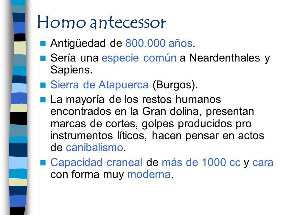 Homo antecessor Antigüedad de 800.000 años. Sería una especie común a Neardenthales y Sapiens. Sierra de Atapuerca (Burgos). La mayoría de los restos