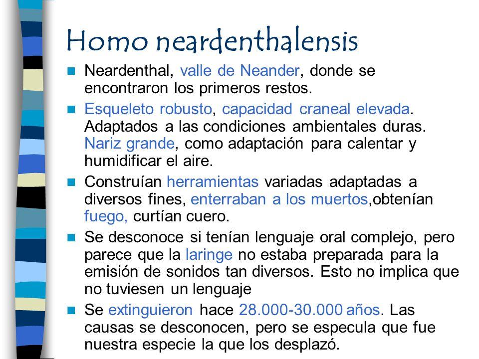 Homo neardenthalensis Neardenthal, valle de Neander, donde se encontraron los primeros restos. Esqueleto robusto, capacidad craneal elevada. Adaptados
