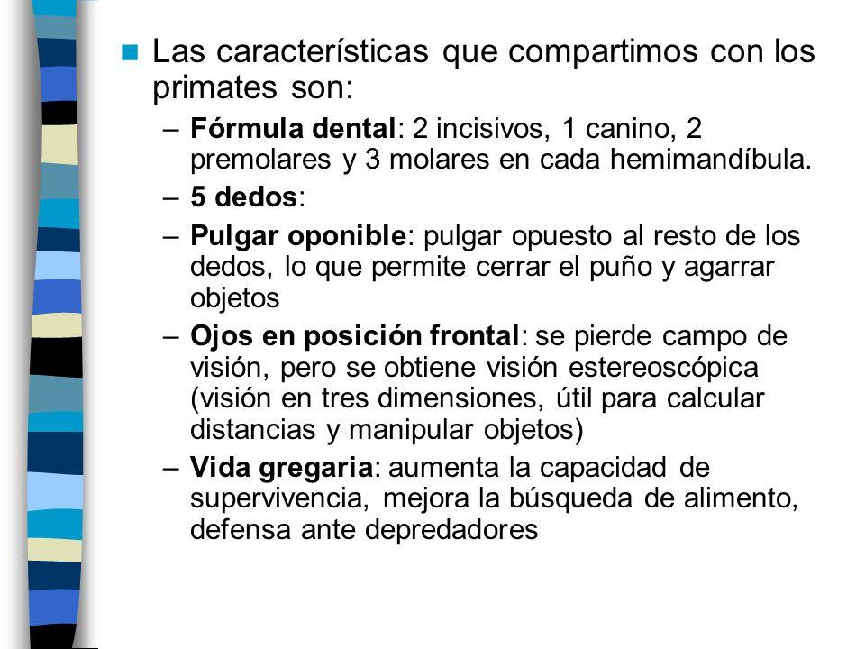 Las características que compartimos con los primates son: –Fórmula dental: 2 incisivos, 1 canino, 2 premolares y 3 molares en cada hemimandíbula. –5 d
