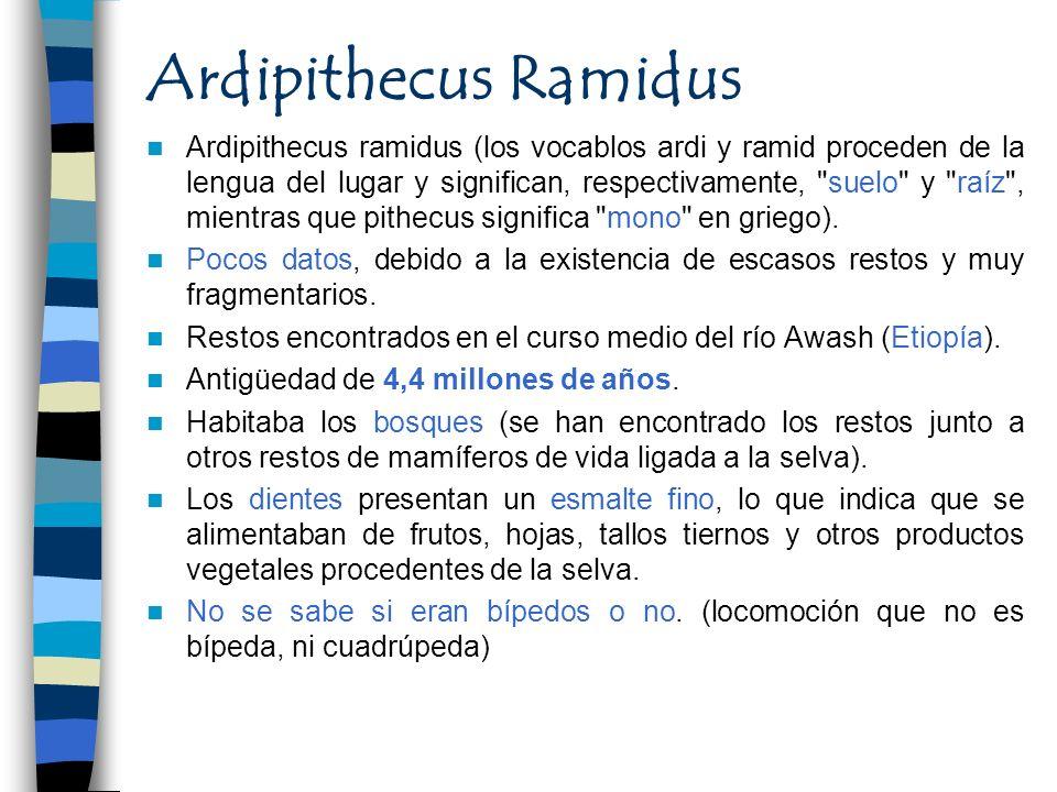 Ardipithecus Ramidus Ardipithecus ramidus (los vocablos ardi y ramid proceden de la lengua del lugar y significan, respectivamente,