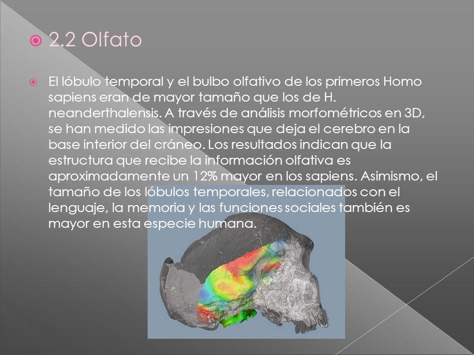 2.2 Olfato El lóbulo temporal y el bulbo olfativo de los primeros Homo sapiens eran de mayor tamaño que los de H. neanderthalensis. A través de anális