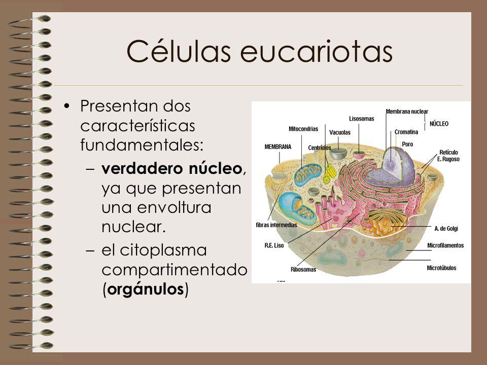 Células eucariotas Presentan dos características fundamentales: – verdadero núcleo, ya que presentan una envoltura nuclear. –el citoplasma compartimen