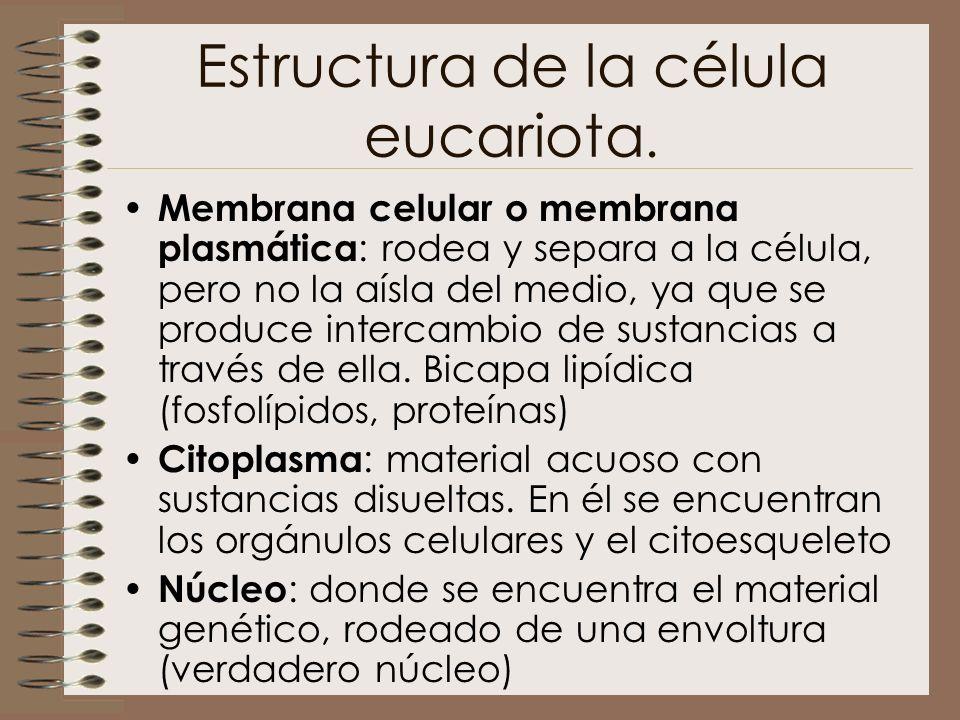 Estructura de la célula eucariota. Membrana celular o membrana plasmática : rodea y separa a la célula, pero no la aísla del medio, ya que se produce