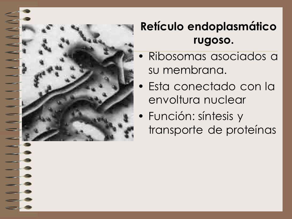 Retículo endoplasmático rugoso. Ribosomas asociados a su membrana. Esta conectado con la envoltura nuclear Función: síntesis y transporte de proteínas