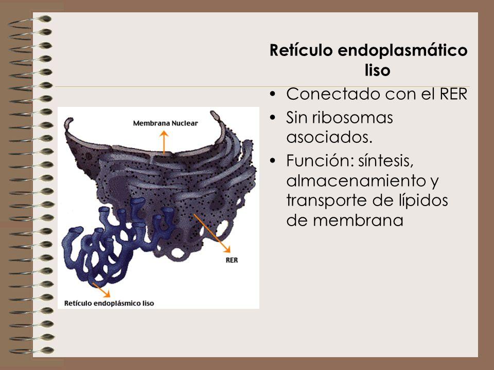 Retículo endoplasmático liso Conectado con el RER Sin ribosomas asociados. Función: síntesis, almacenamiento y transporte de lípidos de membrana