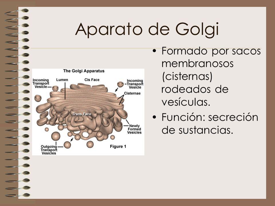 Aparato de Golgi Formado por sacos membranosos (cisternas) rodeados de vesículas. Función: secreción de sustancias.