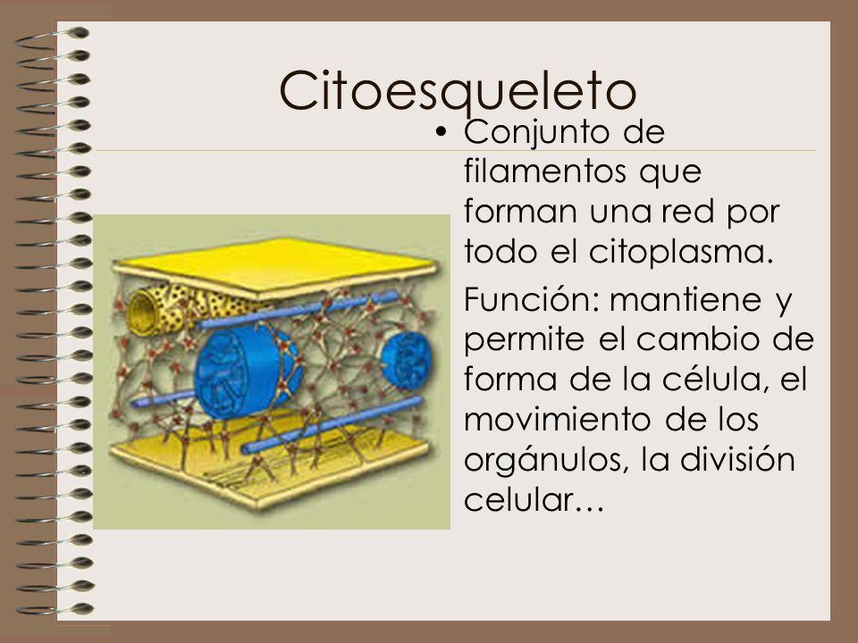 Citoesqueleto Conjunto de filamentos que forman una red por todo el citoplasma. Función: mantiene y permite el cambio de forma de la célula, el movimi