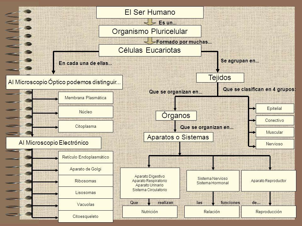 El Ser Humano Organismo Pluricelular Células Eucariotas Al Microscopio Electrónico Al Microscopio Óptico podemos distinguir... Tejidos Órganos Es un..