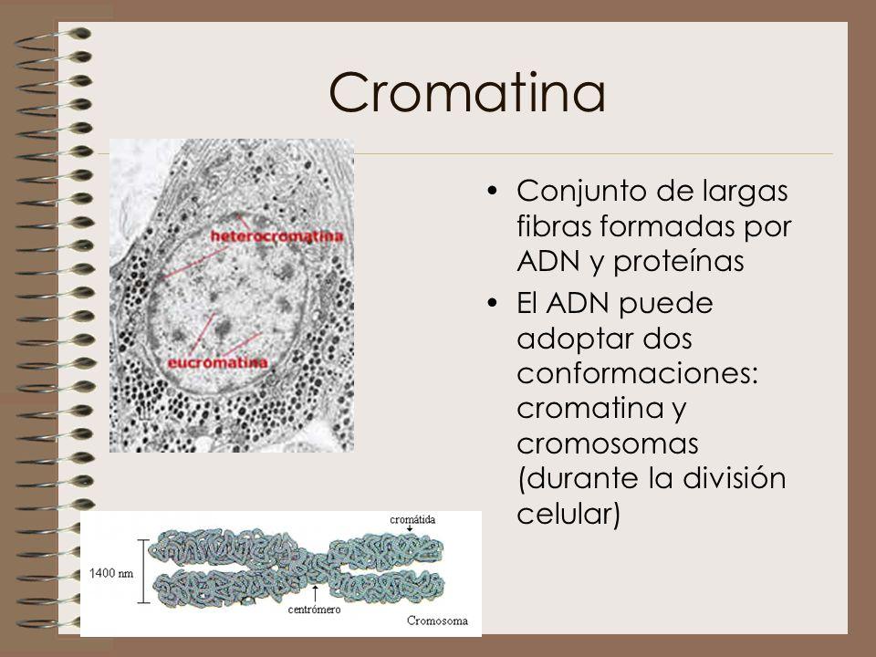 Cromatina Conjunto de largas fibras formadas por ADN y proteínas El ADN puede adoptar dos conformaciones: cromatina y cromosomas (durante la división