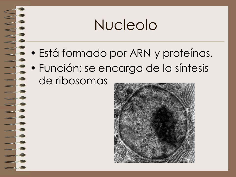 Nucleolo Está formado por ARN y proteínas. Función: se encarga de la síntesis de ribosomas