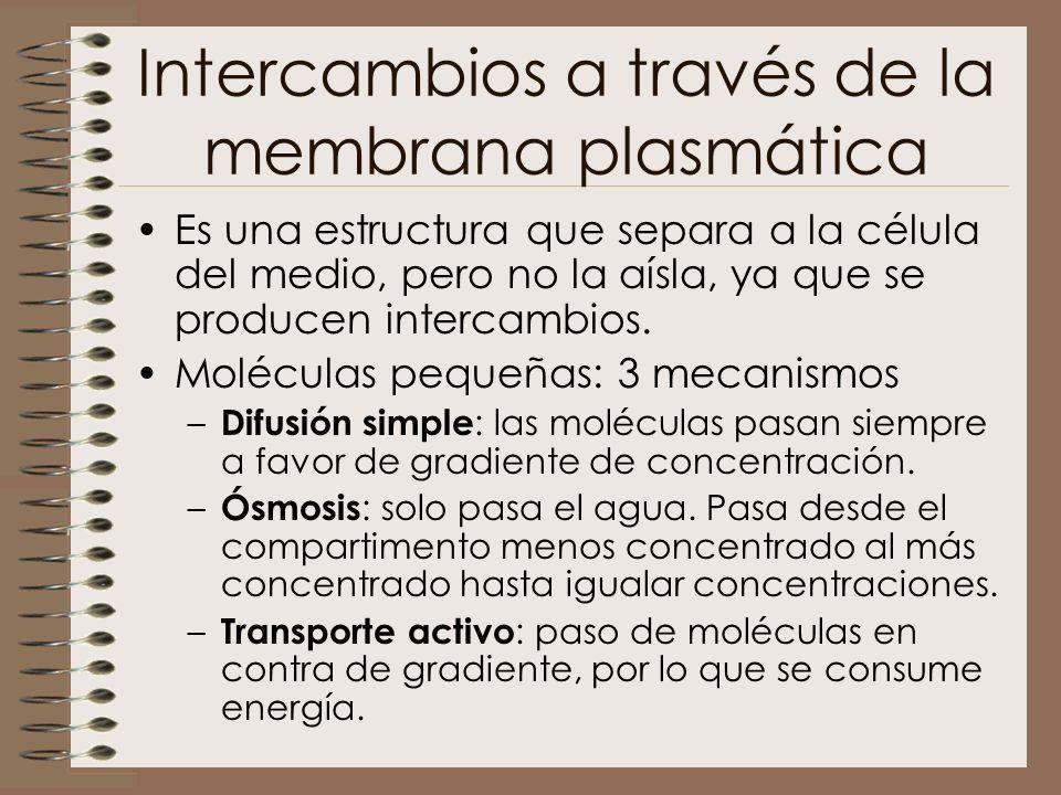 Intercambios a través de la membrana plasmática Es una estructura que separa a la célula del medio, pero no la aísla, ya que se producen intercambios.