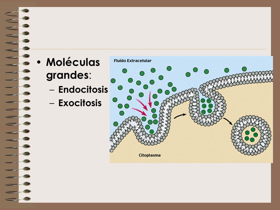 Moléculas grandes : – Endocitosis – Exocitosis