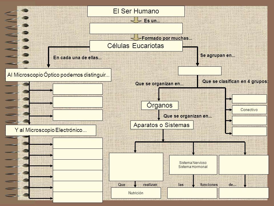 El Ser Humano Células Eucariotas Y al Microscopio Electrónico... Al Microscopio Óptico podemos distinguir... Órganos Es un... Formado por muchas... En