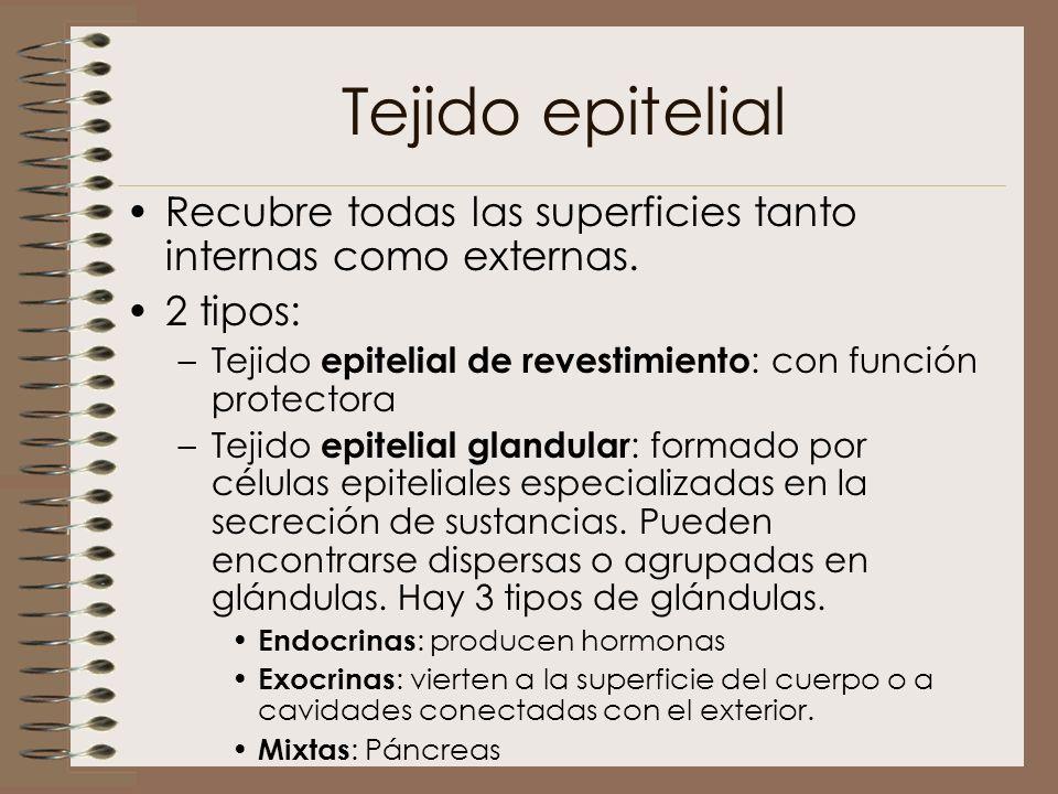 Tejido epitelial Recubre todas las superficies tanto internas como externas. 2 tipos: –Tejido epitelial de revestimiento : con función protectora –Tej