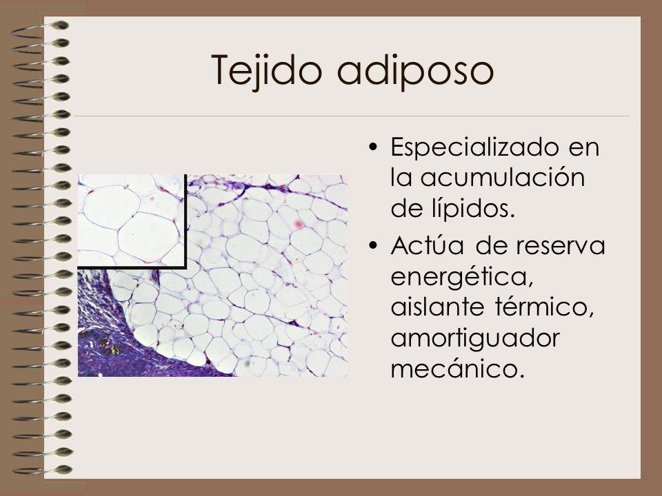 Tejido adiposo Especializado en la acumulación de lípidos. Actúa de reserva energética, aislante térmico, amortiguador mecánico.
