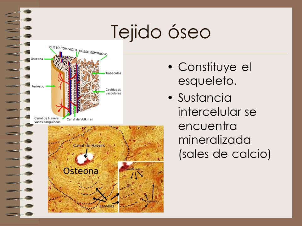 Tejido óseo Constituye el esqueleto. Sustancia intercelular se encuentra mineralizada (sales de calcio)