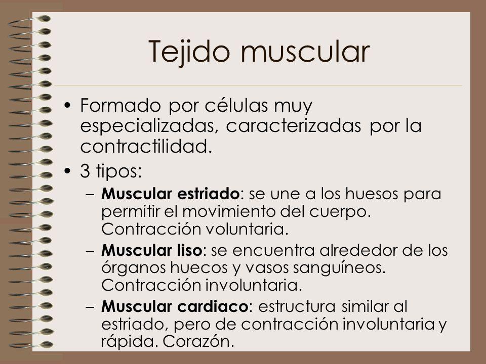 Tejido muscular Formado por células muy especializadas, caracterizadas por la contractilidad. 3 tipos: – Muscular estriado : se une a los huesos para