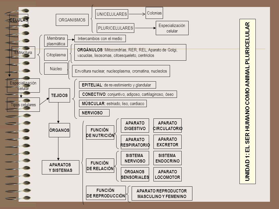 ORGANISMOS UNICELULARES Colonias PLURICELULARES Especialización celular CELULAS Estructura Núcleo Citoplasma Membrana plasmática ORGÁNULOS : Mitocondr
